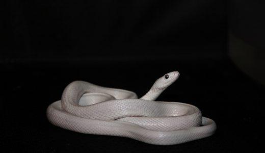 「白い蛇」は幸運のシンボル!金運アップの縁起が良い動物です